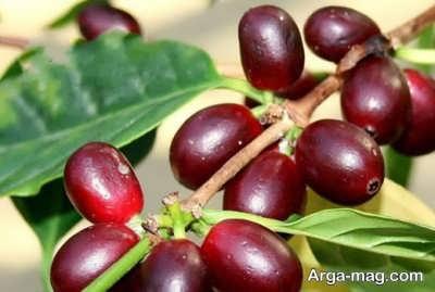 از خواص گیاه روناس