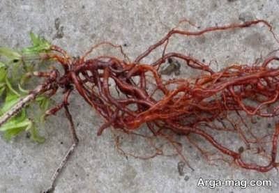 گیاه روناس و خاصیت های آن