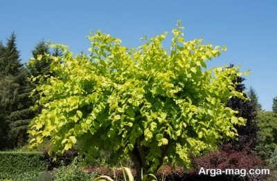 درخت نارون و خاصیت های آن