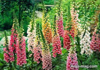 بررسی انواع خاصیت های مهم گل انگشتانه