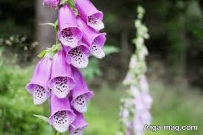 انواع مختلف خاصیت های گل انگشتانه