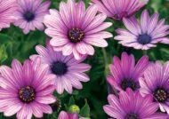 آشنایی با نحوه پرورش گل آفتابگردان ارغوانی