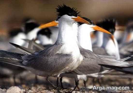 گونه های پرندگان نخیلو