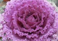 آشنایی با نحوه پرورش گل کلم تزئینی