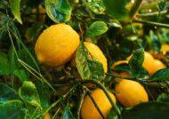 آشنایی با نحوه کاشت درخت لیمو شیرین