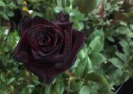 آشنایی با نحوه پرورش گل رز سیاه