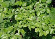 خواص نارون و فواید مصرف این گیاه