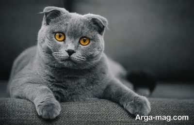 خصوصیات گربه اسکاتیش