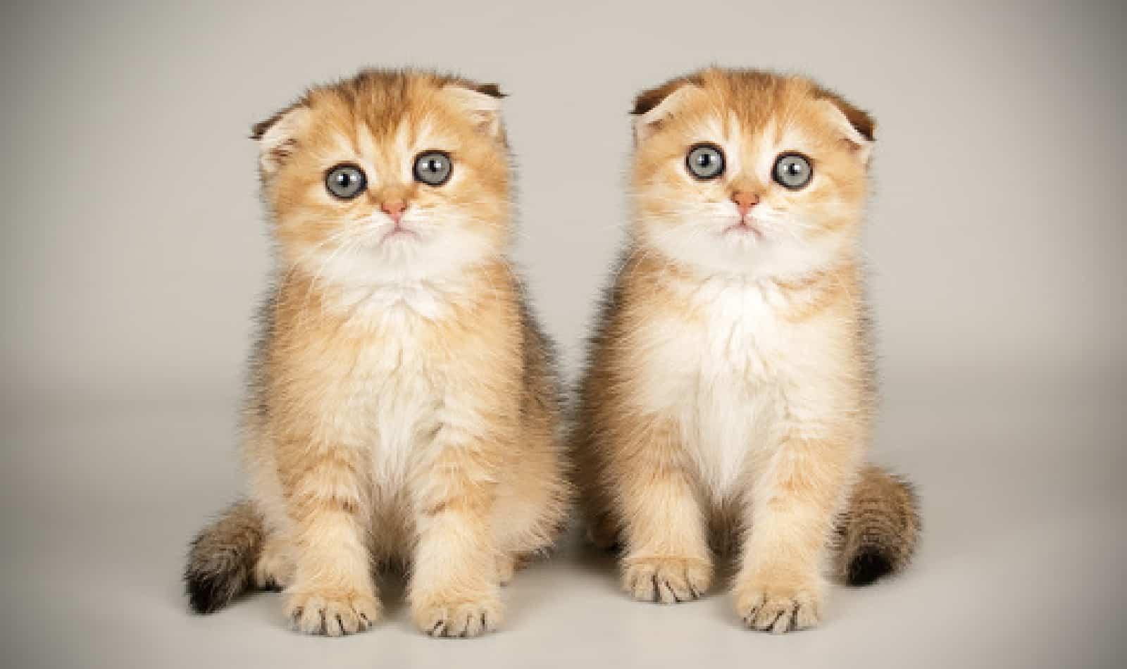 آشنایی با خصوصیات گربه اسکاتیش