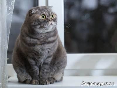 آشنایی با ظاهر گربه های اسکاتیش