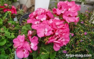 چگونگی هرس کردن گیاه شمعدانی
