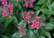 آشنایی با نحوه پرورش گل پنج پر