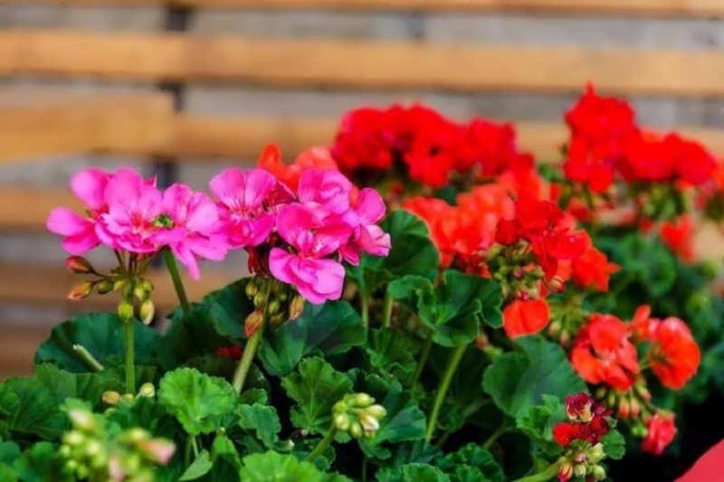 آشنایی با نگهداری گل شمعدانی در زمستان